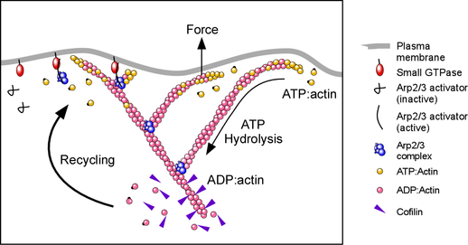 Arp2/3 complex nucleates a network of actin filaments that produce force at the membrane